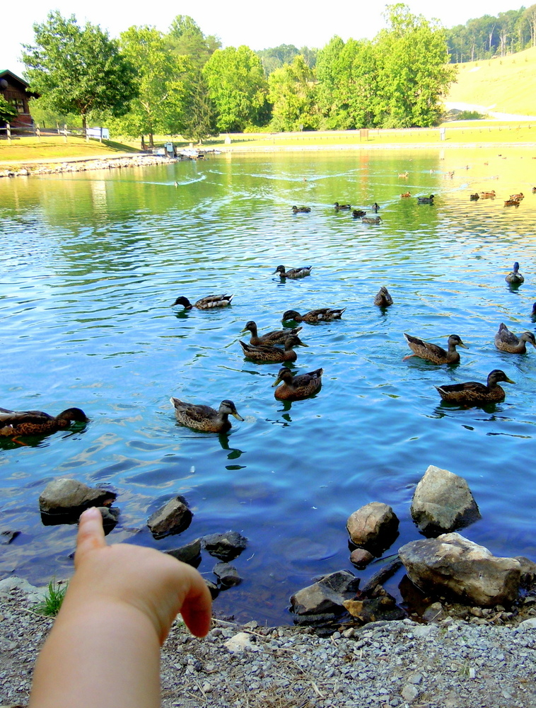 Daniel can't count this many ducks yet!