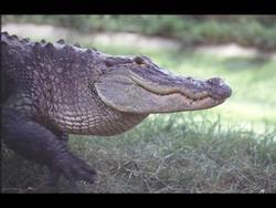 67 Inch Long Alligator (sad) Shot in Rural WV.
