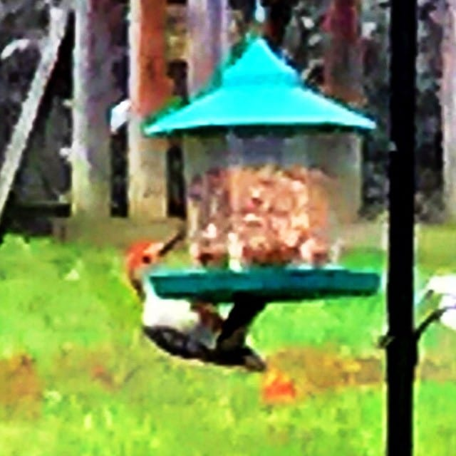 Woodpecker coming to town.