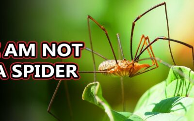 I am not a Spider – Opiliones – they're also known as daddy long legs